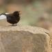 zwarte-tapuit-black-wheatear-03