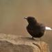 zwarte-tapuit-black-wheatear-04