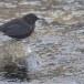 Zwarte waerspreeuw -  Brown dipper 03