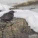 Zwarte waerspreeuw -  Brown dipper 08