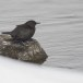 Zwarte waerspreeuw -  Brown dipper 09