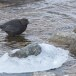 Zwarte waerspreeuw -  Brown dipper 15
