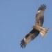 Zwarte wouw -  Black Kite 32