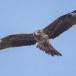 Zwarte wouw -  Black Kite 34