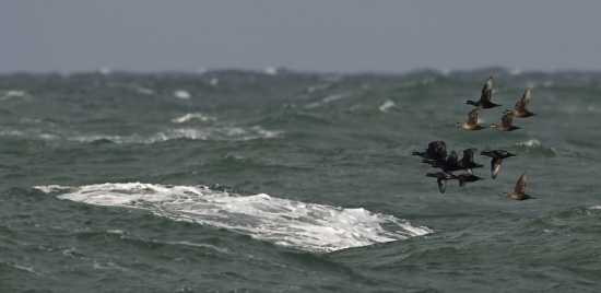 zwarte-zeeeend-common-scoter-01