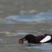 zwarte-zeekoet-black-guillemot-02