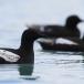 zwarte-zeekoet-black-guillemot-07