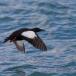 zwarte-zeekoet-black-guillemot-09