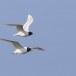 Zwartkopmeeuw-Mediterranean-Gull-03