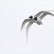 Zwartkopmeeuw-Mediterranean-Gull-04