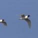 Zwartkopmeeuw-Mediterranean-Gull-05