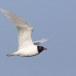 Zwartkopmeeuw-Mediterranean-Gull-06