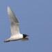 Zwartkopmeeuw-Mediterranean-Gull-07