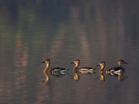zwervende-fluiteend-wandering-whistling-duck-01