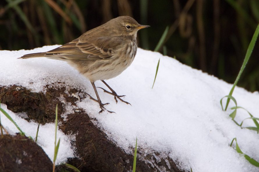 Waterpieper – Water Pipit