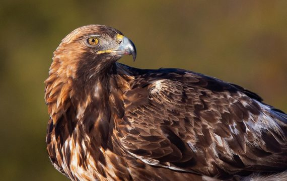 Steenarend – Golden Eagle