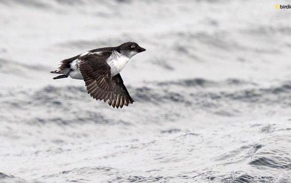 Dwergalk – Least auklet