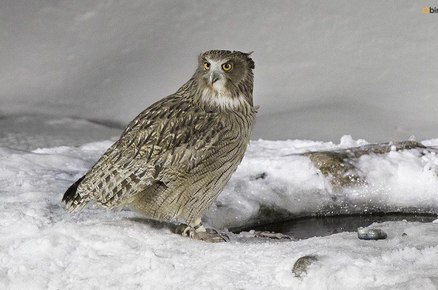 Blakistons visuil – Blakiston's fish owl
