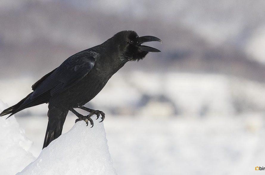 Dikbekkraai – Large-billed crow