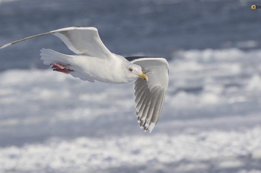 Kamtsjatkameeuw – Slaty-backed gull