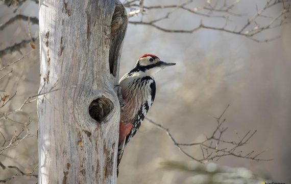 Witrugspecht – White-backed woodpecker