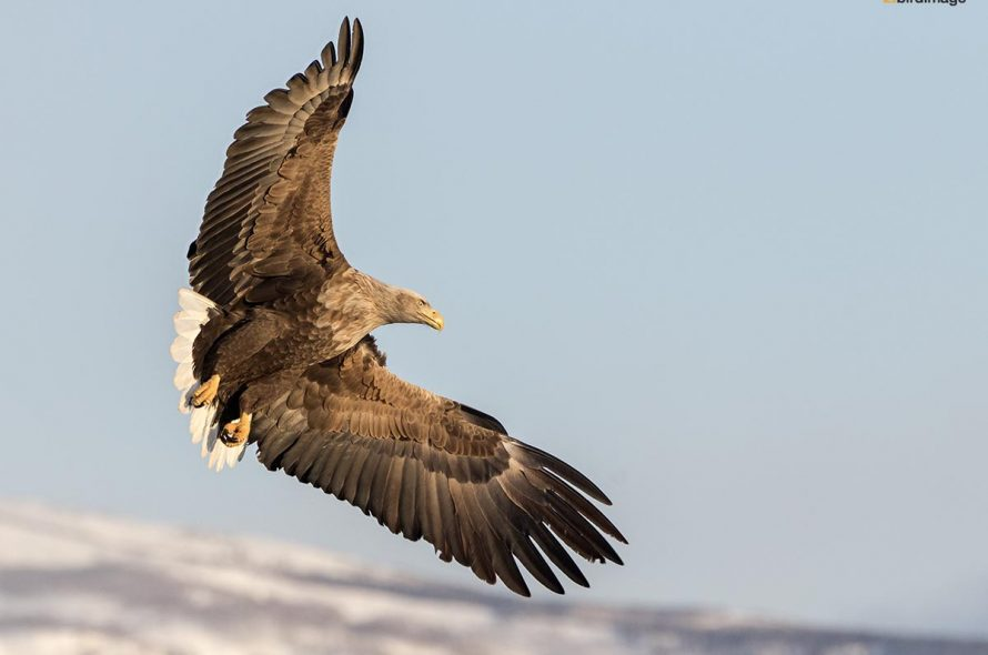 Zeearend – White-tailed Eagle