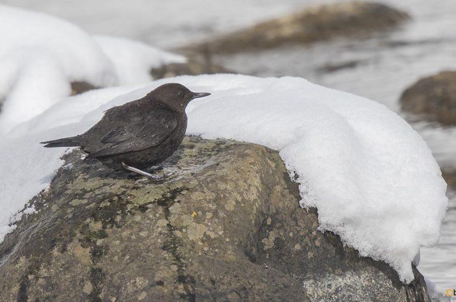 Zwarte waterspreeuw – Brown dipper