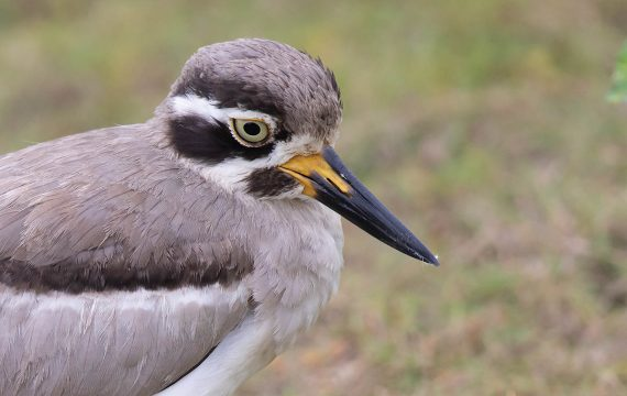 Grote griel – Great thick-knee