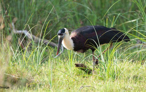 Aziatische bisschopsooievaar – Woolly-necked Stork