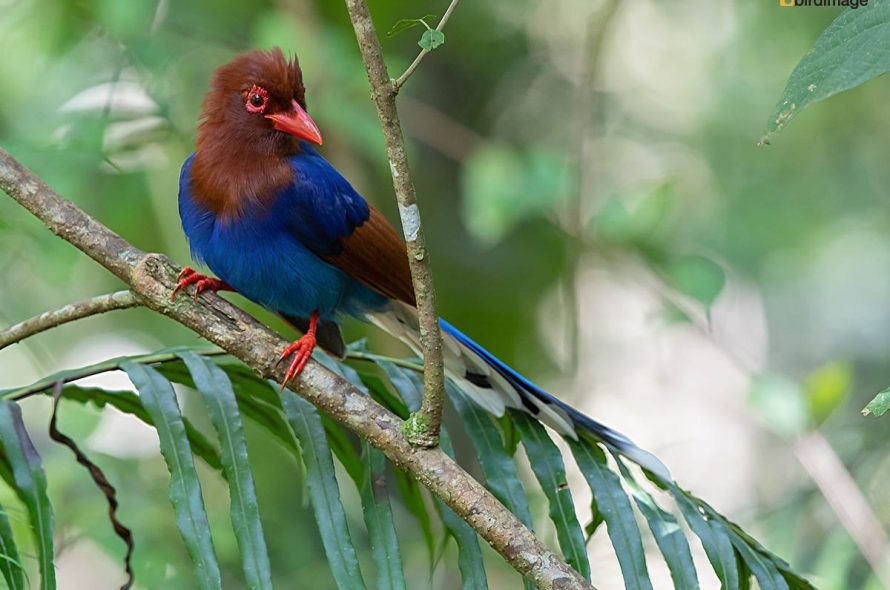 Blauwe kitta – Sri Lanka Blue Magpie