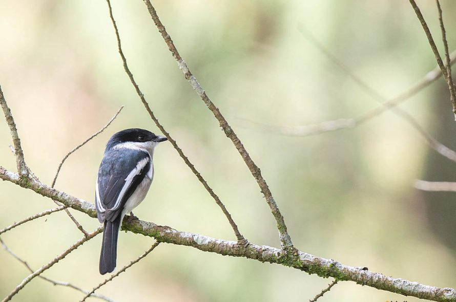 Bonte dwergtriller – Bar-winged Flycatcher-Shrike