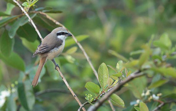 Bruine klauwier – Brown Shrike