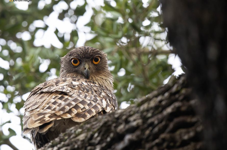 Bruine visuil – Brown Fish Owl