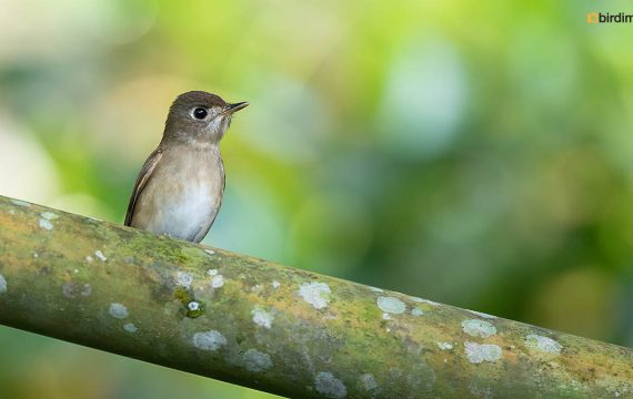 Bruine vliegenvanger – Asian brown flycatcher