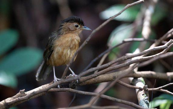Bruinkapjungletimalia – Brown-capped Babbler