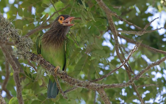 Bruinkopbaardvogel – Brown-headed Barbet