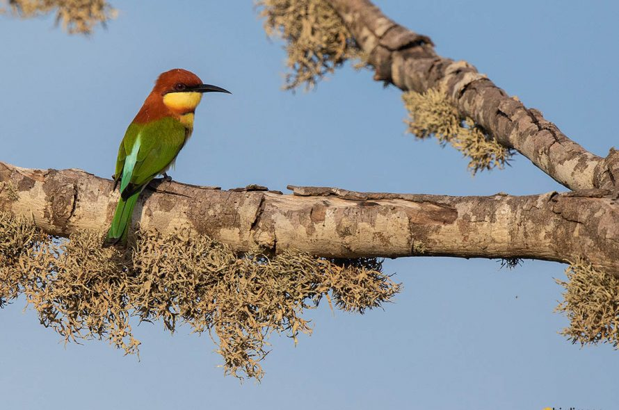 Bruinkopbijeneter – Chestnut-headed bee-eater