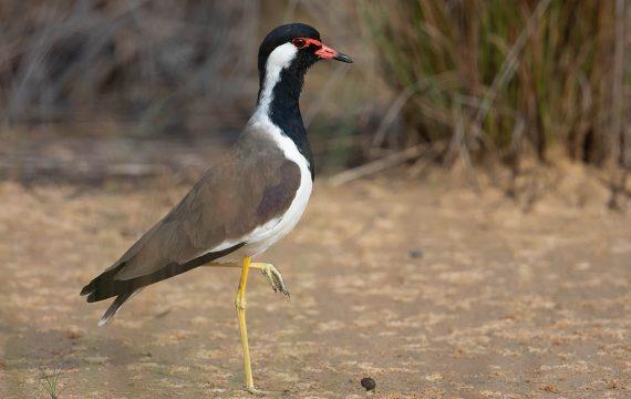 Indische kievit – Red-wattled lapwing