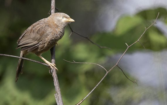 Geelsnavelbabbelaar – Yellow-billed Babbler