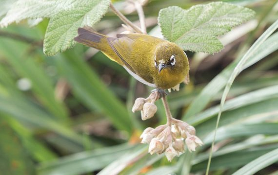 Ceylonese brilvogel – Sri Lanka White-eye