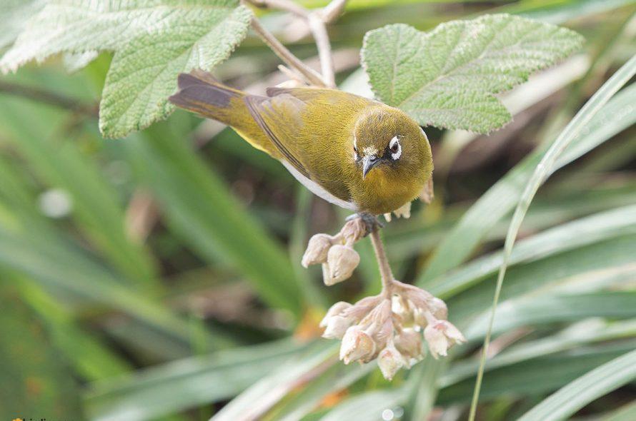 Ceylonese brilvogel – Sri Lanka White-eye