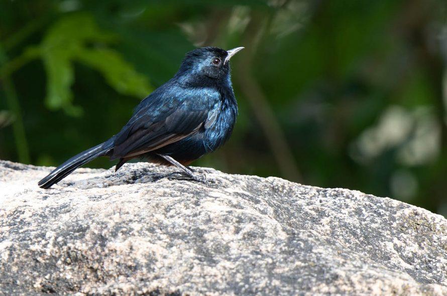 Ceylonfluitlijster – Sri Lanka Whistling Thrush