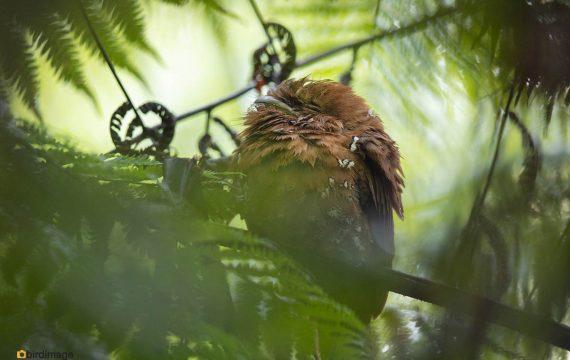 Ceylonkikkerbek – Sri Lanka Frogmouth