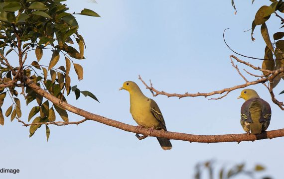 Ceylonpapegaaiduif – Sri Lanka Green Pigeon