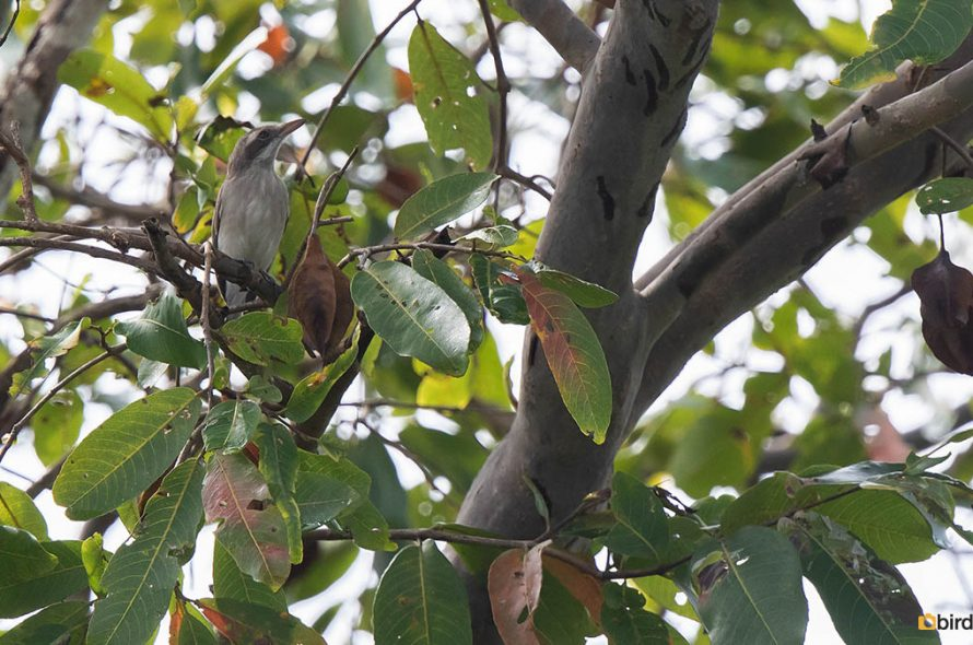 Ceylonrupsklauwier – Sri Lanka woodshrike
