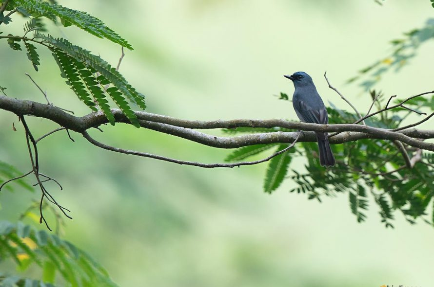 Ceylonvliegenvanger – Dull-blue flycatcher