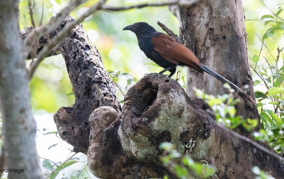 Chinese spoorkoekoek – Greater Coucal