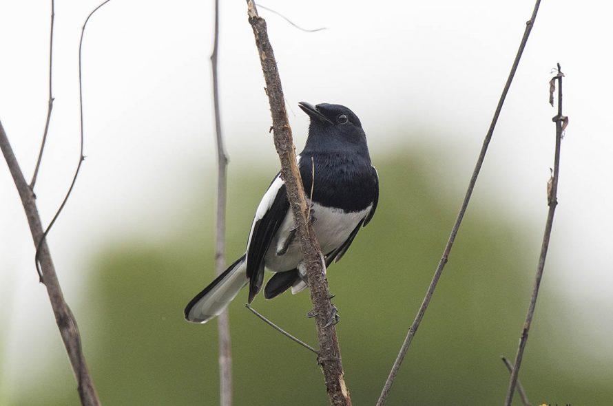 Dayallijster – Oriental Magpie Robin