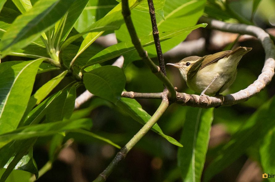 Diksnavelfitis – Large-billed Leaf Warbler