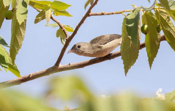 Dikbekhoningvogel – Thick-billed Flowerpecker